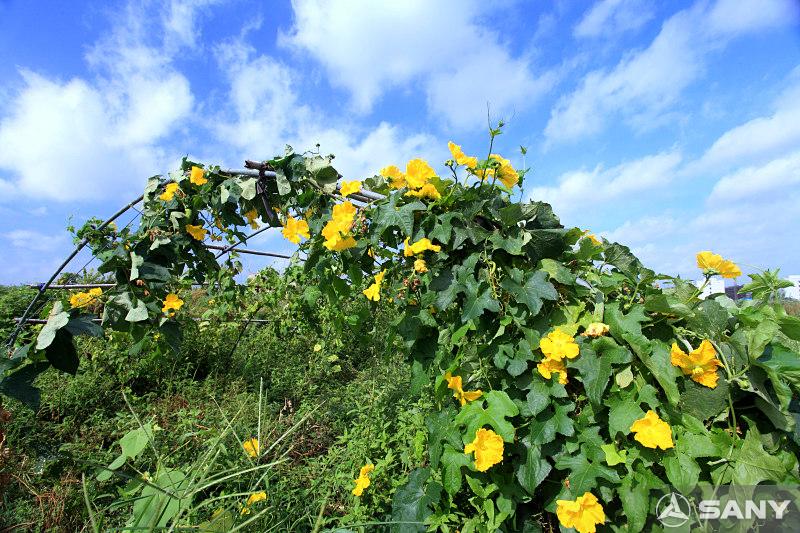 三一昆山产业园农业基地之南瓜藤架