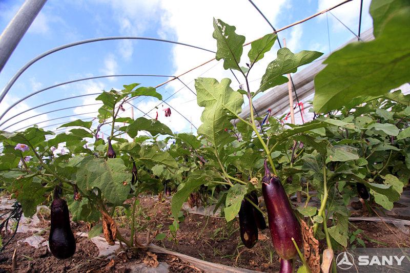 三一昆山产业园农业基地之茄子