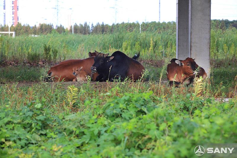 三一昆山产业园农业基地之牛