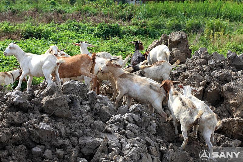 三一昆山产业园农业基地之山羊